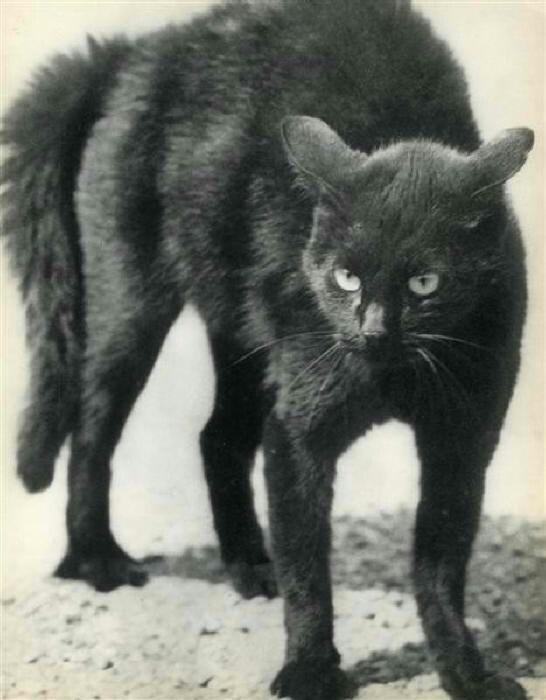 Martin Munkacsi. Black Cat